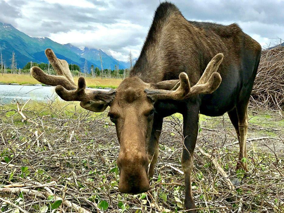 Alaska-summer-trip-moose