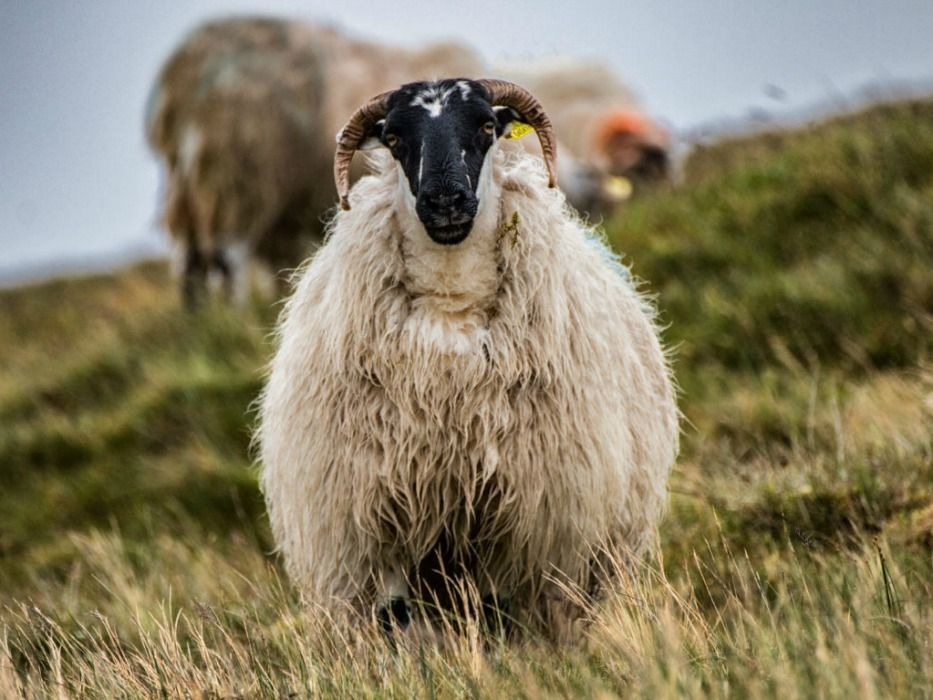 Iceland animals sheep