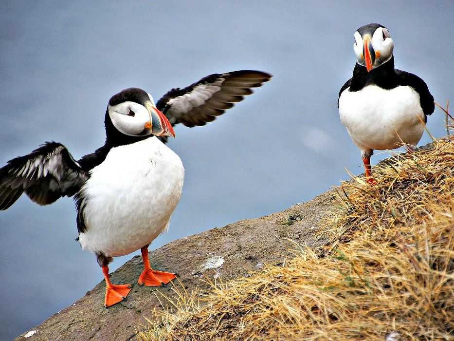 Iceland-vacation-Puffins