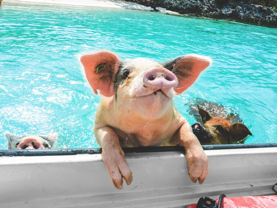 Things to do in Exuma Swimming Pigs